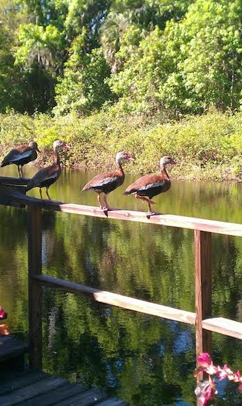 WhistlingDucks
